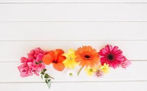 Picture flowers, gerbera, chrysanthemum, hibiscus