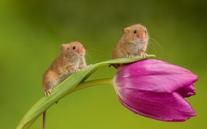 Picture flower, background, Tulip, pair, mouse