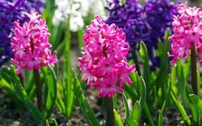 Picture macro, joy, flowers, nature, beauty, plants, spring, primroses, flora, pink color, hyacinths, the color purple