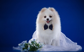 Picture breed, veil, bow, white, forget-me-nots, Spitz