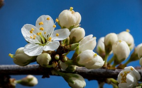 Picture macro, cherry, branch, spring, petals
