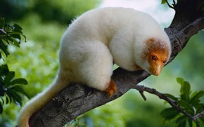 Picture nature, tree, possum, spotted cuscus