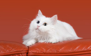 Picture cat, cat, look, orange, background, sofa, lies, white, face, cutie, fluffy, leather