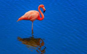 Picture water, bird, beak, Flamingo, neck