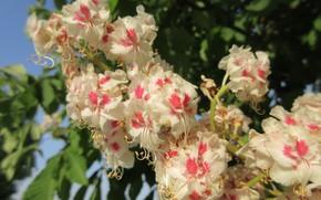 Picture macro, flowers, flowering, chestnut, spring 2018, Mamala ©