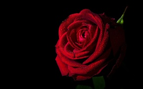 Picture rose, Bud, red