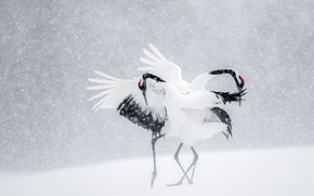 Picture winter, snow, birds, dance, Japan, cranes