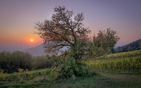 Picture tree, morning, vinogradniki