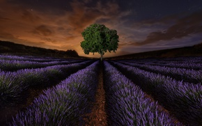 Picture field, flowers, night, tree, Spain, lavender