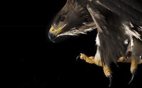 Wallpaper eagle, bird, nature