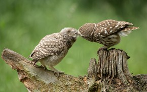 Picture birds, kiss, owls