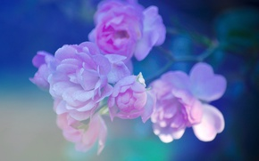 Picture macro, background, pink, branch, petals, Briar