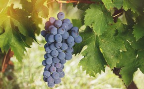Picture leaves, grapes, bunch