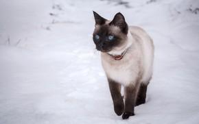 Picture cat, cat, snow, blue eyes, runs, the Thai cat