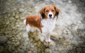 Picture look, face, water, pose, pebbles, stones, dog, wet, the bottom, red, pond, kooikerhondje, white