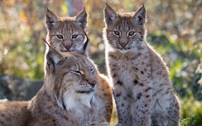 Wallpaper nature, stay, family, color, lynx