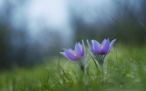 Picture grass, spring, sleep-grass, anemone