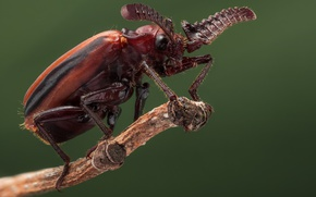Picture macro, beetle, insect, beetle Poussin