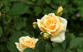 Picture leaves, roses, buds, yellow roses