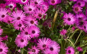 Picture flowers, pink, isovue