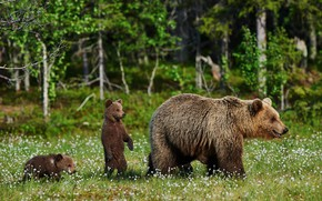 Picture greens, forest, summer, grass, trees, flowers, nature, glade, bear, bears, bokeh, brown