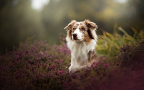 Picture dog, bokeh, Australian shepherd, Heather, Aussie