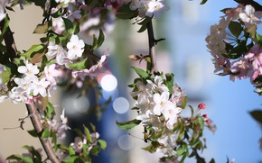 Picture summer, flowering, Apple