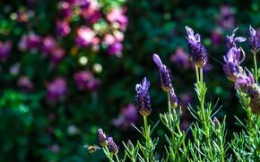 Picture flower, plant, meadow, lavender