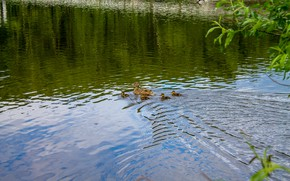 Picture animals, birds, nature, lake, pond, ducklings, duck, duck, little ducklings, ducklings in the lake, ducklings …