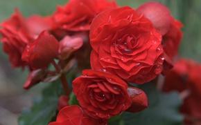 Picture drops, petals, red, begonia