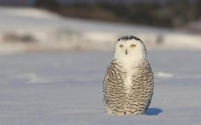 Picture winter, animals, look, snow, nature, background, owl, bird, light, white, sitting, tail, polar, motley