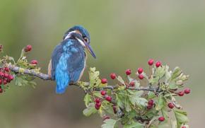 Picture berries, background, bird, branch, Kingfisher