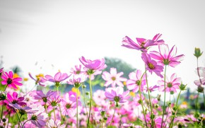 Picture field, summer, flowers, summer, pink, field, pink, flowers, cosmos