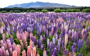 Picture flowers, mountains, Lupin