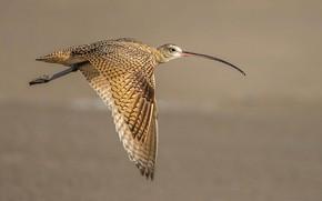 Picture flight, bird, wings, beak, long-billed Curlew