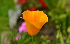 Picture Spring, Flower, Spring, Bokeh, Bokeh, Escholzia, California poppy