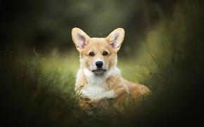 Picture grass, look, face, doggie, Welsh Corgi