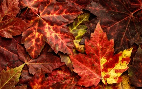 Wallpaper leaves, autumn, nature