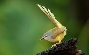 Wallpaper yellow-bellied prinia, stump, birds, animal