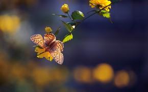 Picture macro, butterfly, branch, flowers, bokeh, Kerria Japanese, Fritillary