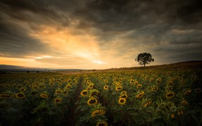 Picture field, summer, sunflowers, nature, tree, the evening