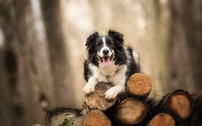 Picture background, dog, logs