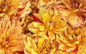 Picture flowers, background, Wallpaper, paint, petals