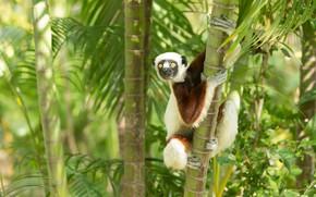 Picture trees, fluffy, lemur