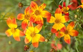 Picture macro, petals, buds, Bidens, series