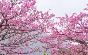 Wallpaper the sky, branches, spring, Sakura, flowering, pink, blossom, sakura, cherry, spring, bloom