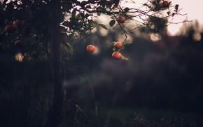 Picture nature, tree, tangerines