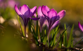 Picture forest, flowers, spring, crocuses, flowering