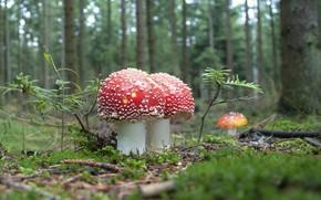 Picture forest, mushrooms, Amanita