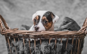 Picture basket, dog, puppy